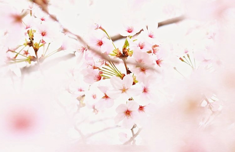 【Sirena's Selection】桜の季節、桜で美しく♪